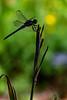 Dragonfly Silhouettel
