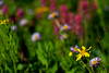 Wildflower Blur 1