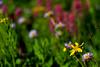 Wildflower Blur 1