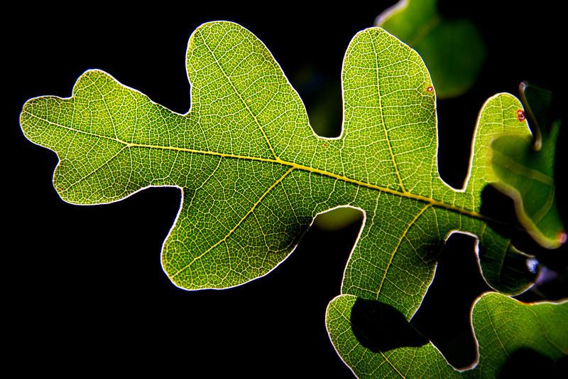 Glowing Oak