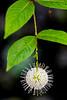 Buttonbush 2
