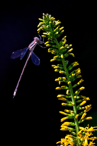 Dragonfly Yellow
