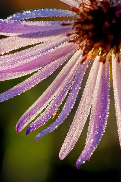 Dewdrop Flower 1
