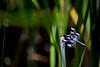 Skimmer Dragonfly 2