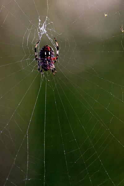 Swamp Spider 2