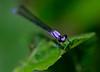 Dragonfly Leaf