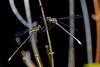 Dragonfly Black