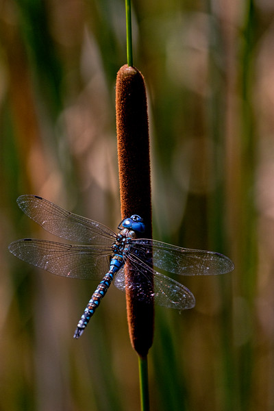Cattail Dragonfly