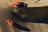Crab Faceoff
