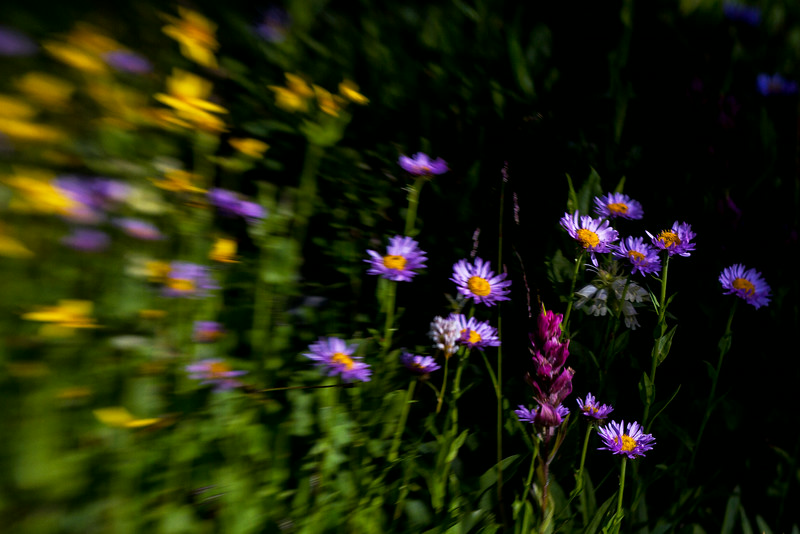 Wildflower Dark Blur