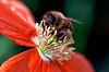 Bee on Orange 2