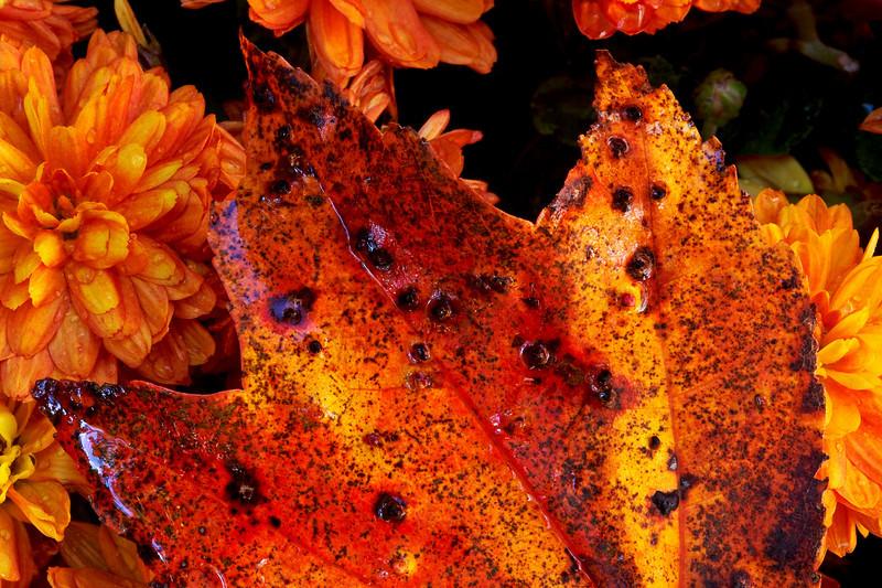 Fall Leaf & Mums