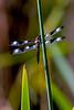 Marsh Dragonfly 2