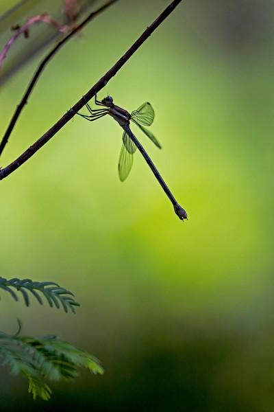 Dragonfly Green