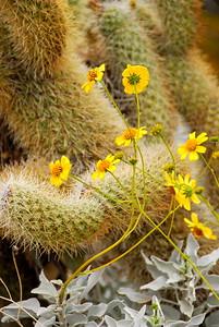 Brittlebush & Cholla Cactus