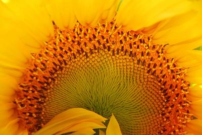 Bashfull Sunflower