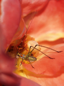 Juvenile Grasshopper in Rose
