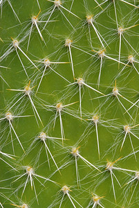 Prickley-Pear Cactus Detail
