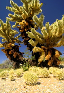 Teddy-Bear Cholla (Jumping Cactus)
