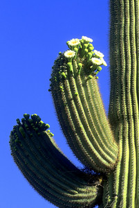 Saguaro Cactus in Bloom