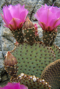 Beaver-Tail Cactus in Bloom