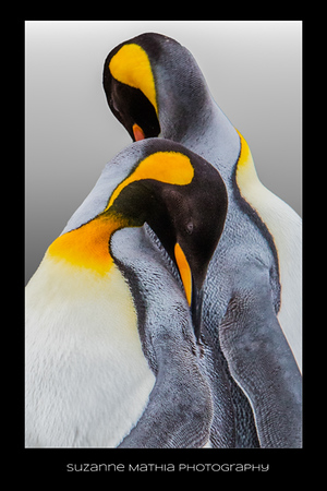 King Penguins - Antarctica
