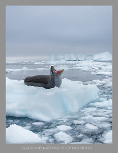 Leopard Seal - Antarctica