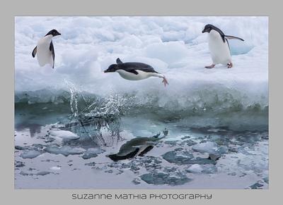 Adelie Penguins - Antarctica