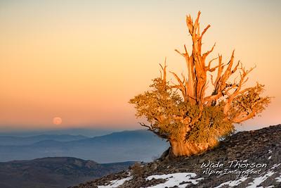 Galen's Tree