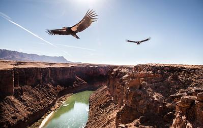 Condors of Navajo Bridge