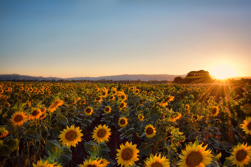 Sunflower Sunset III