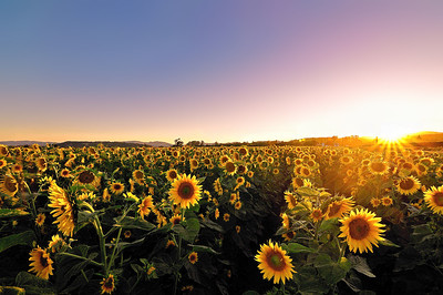 Sunflower Sunset II