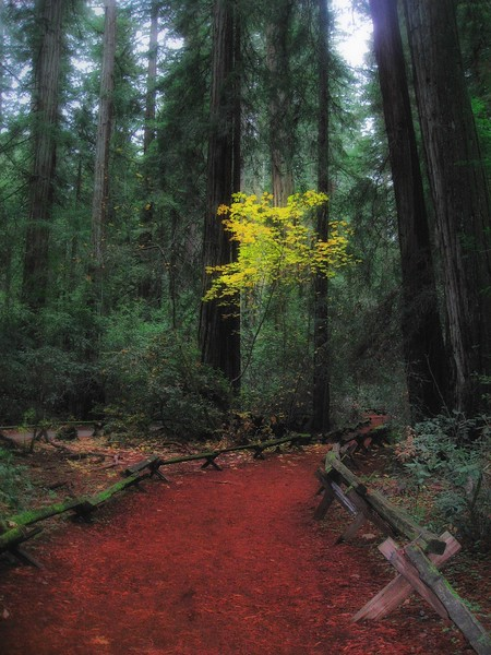 California Redwoods II