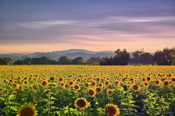 Suisun Valley Sunflower Field