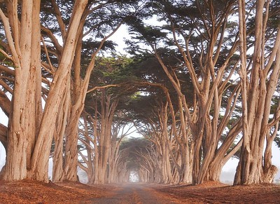 Cypress Tree Tunnel II