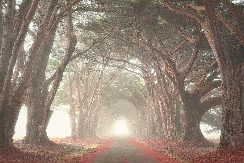 Cypress Tree Tunnel