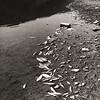 466. Дністер – масова загибель риби, 20 вересня 1983 року