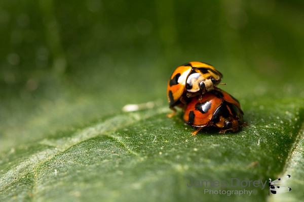 Lady beetles, please...