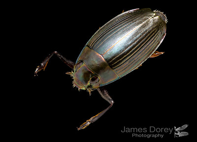 Water diving beetle