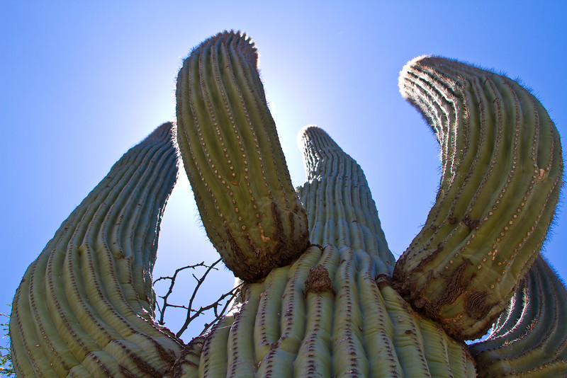 The SAGUARO, scientific name Carnegiea Gigantea is a large tree sized Cactus species. It is native to the Sonoran Desert in the U.S. State of Arizona, the Mexican State of Sonora, a small part of Baja California in the San Felipe Desert. The Saguaro blossom is the State wildflower of Arizona. They take up to 75 years to develop a side arm.