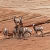 Sheep - Utah