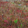 Autumn grasses, Acadia National Park, Maine