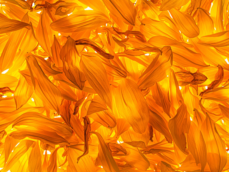 Backlit sunflower petals