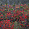 Wild blueberry bushes, Acadia National Park, Maine