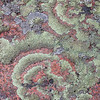 Lichen on pink granite, Acadia National Park, Maine
