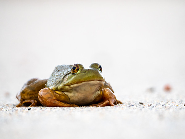 High Key Frog