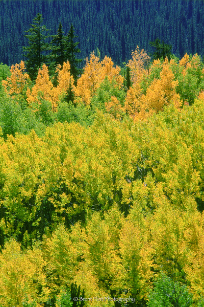 S.1807 - aspen and spruce in fall, Pike National Forest, CO.