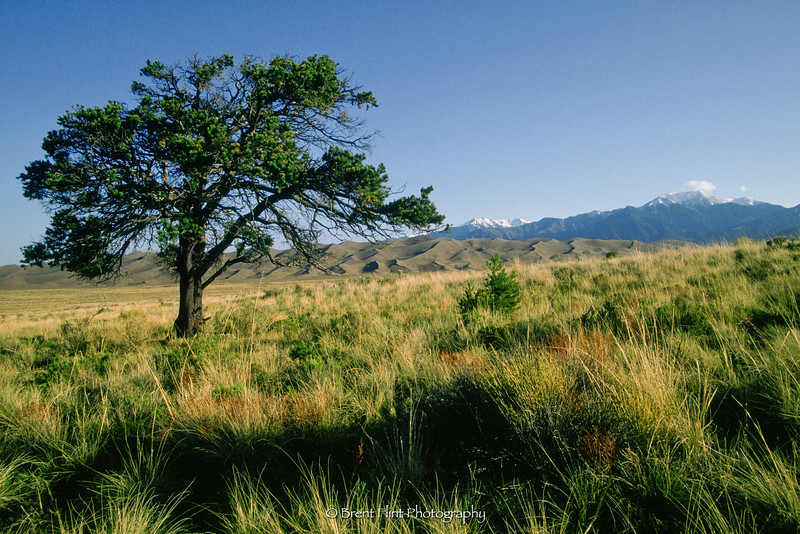 S.1443 - pinon pine on hillside, San Luis Valley, outside of Great Sand Dunes National Park, CO.