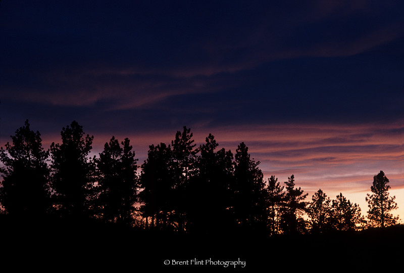S.1861 - pines at sunset, Douglas County, CO.