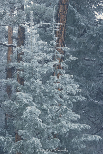 S.1940 - trees with frost, Pike National Forest, CO.